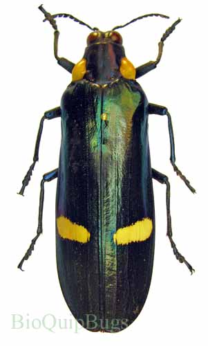 Catalog #110C0126: Megaloxantha bicolor nigricornis (click to close)