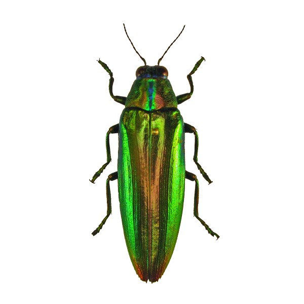Catalog #110C0138: Chrysochroa fulminans (click to close)