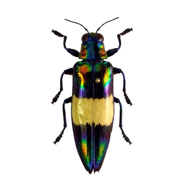 Catalog #110C0155: Chrysochroa toulgoeti (click to close)