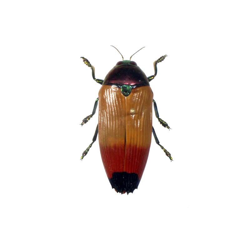 Catalog #110C1333: Metaxymorpha apicalis (click to close)