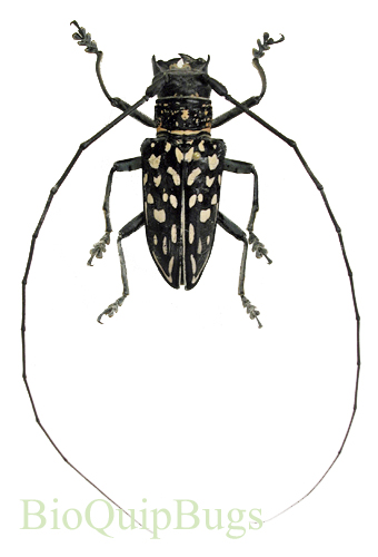 Catalog #126C1455: Stellognata maculata (male) (click to close)