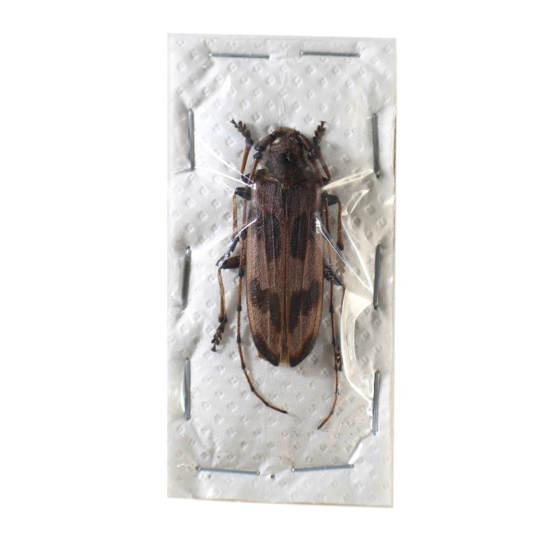 Catalog #126C4264: Oplatocera callidiosa (click to close)