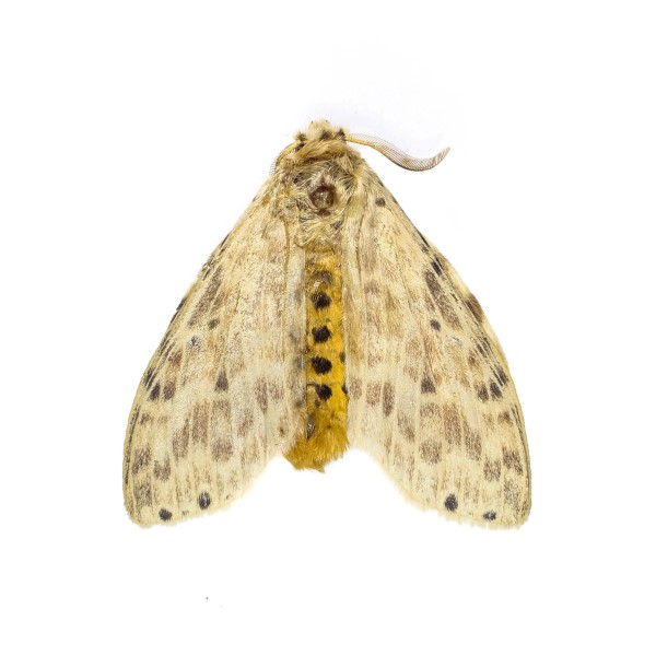Catalog #13H0046: Cerasana anceps (click to close)