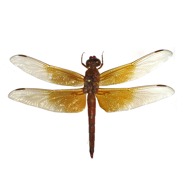 Catalog #15L0050: Libellula saturata (click to close)