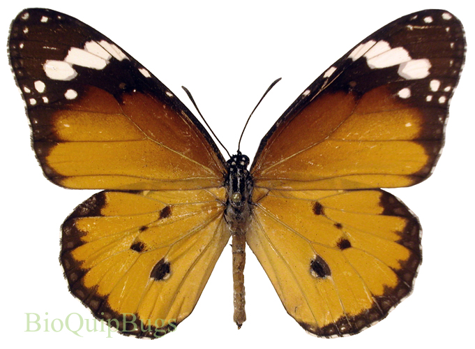 Catalog #18B0014: Danaus chrysippus chrysippus (upperside) (click to close)