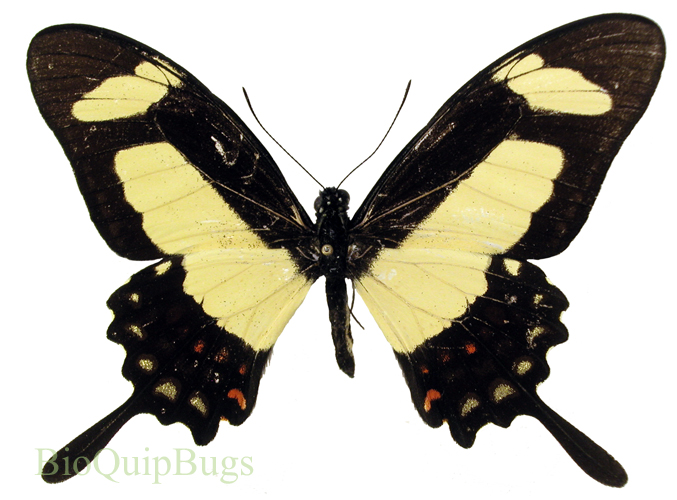 Catalog #1B0115: Papilio torquatus torquatus (upperside) (click to close)