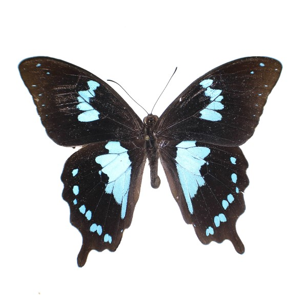 Catalog #1B0157: Papilio epiphorbas (upperside) (click to close)