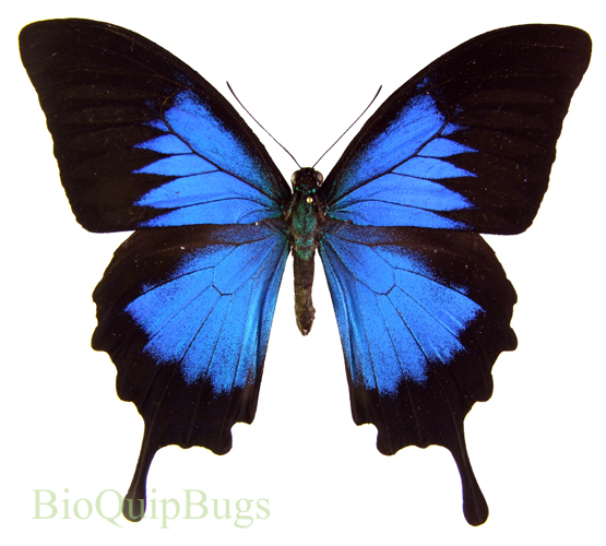 Catalog #1B0231: Papilio ulysses ulysses (upperside) (click to close)