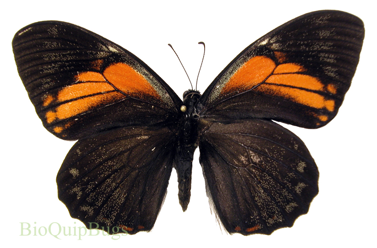 Catalog #1B0385: Papilio euterpinus (upperside) (click to close)