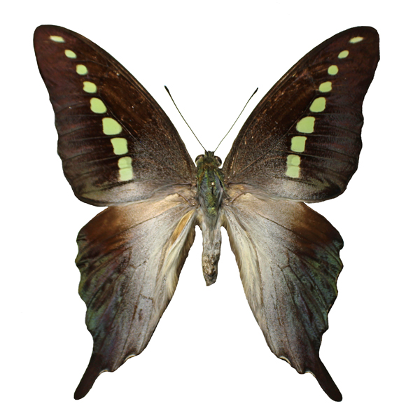 Catalog #1B0461: Graphium codrus (click to close)