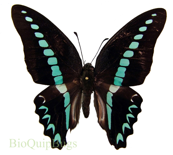 Catalog #1B0484: Graphium sarpedon milon (upperside) (click to close)