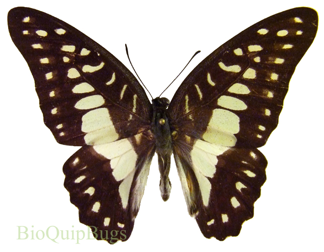 Catalog #1B0512: Graphium eurypylus lycaonides (upperside) (click to close)