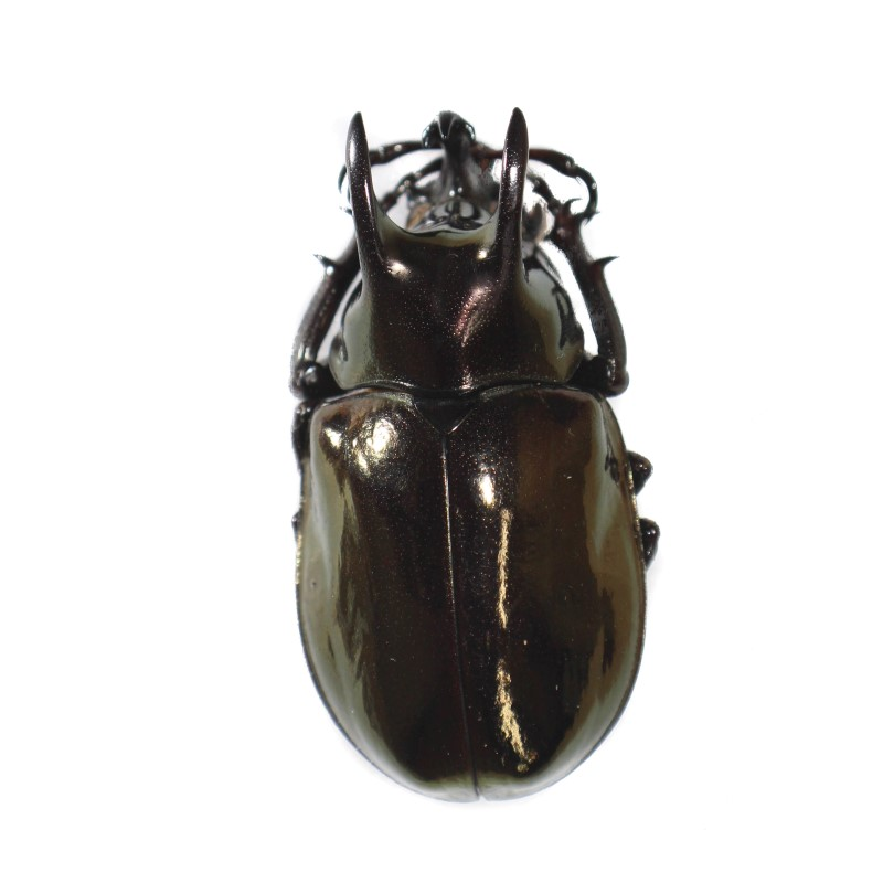Catalog #1C0256MF: Chalcosoma moellenkampi (5cm+) (click to close)