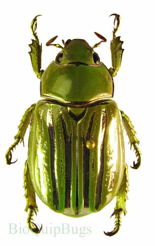 Catalog #1C3500: Chrysina (=Plusiotis) gloriosa (click to close)