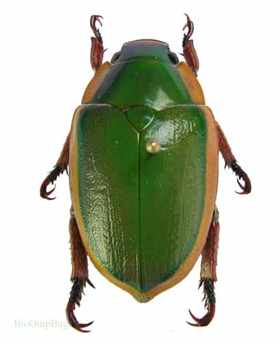 Catalog #1C4300: Calloodes grayanus (click to close)