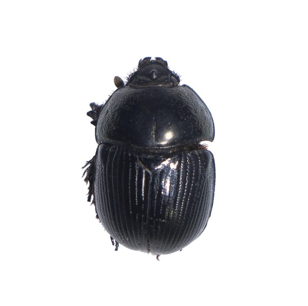 Catalog #1C7926: Geotrupes egeriei (click to close)