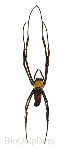 Catalog #1FA090: Nephila sp (click to close)