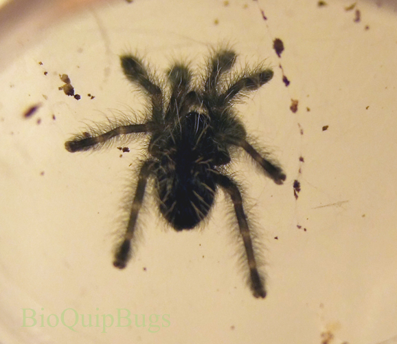 Catalog #1FA210NL: Avicularia versicolor (click to close)