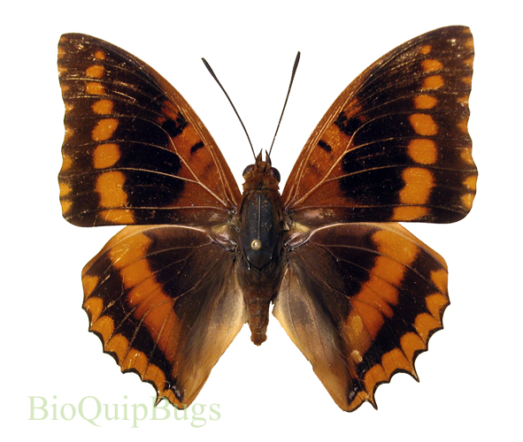 Catalog #20B0390M: Charaxes lucretius (upperside) (click to close)