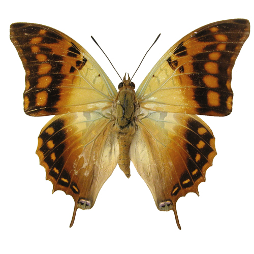 Catalog #20B0408: Charaxes candiope (upperside) (click to close)