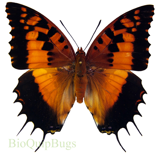 Catalog #20B0426F: Charaxes andranadorus (upperside) (click to close)