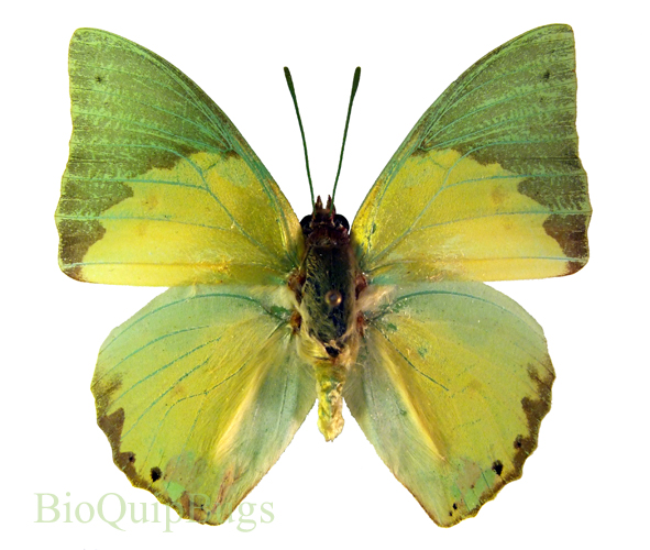 Catalog #20B0448: Charaxes eupale (upperside) (click to close)