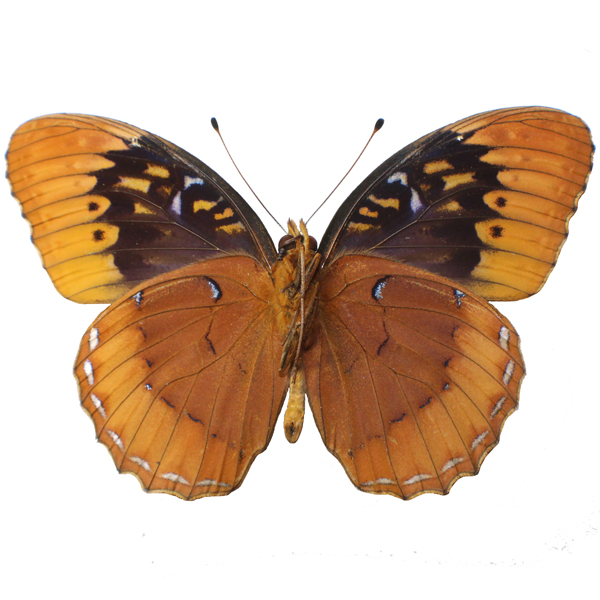 Catalog #20B0846M: Speyeria diana (underside) (click to close)
