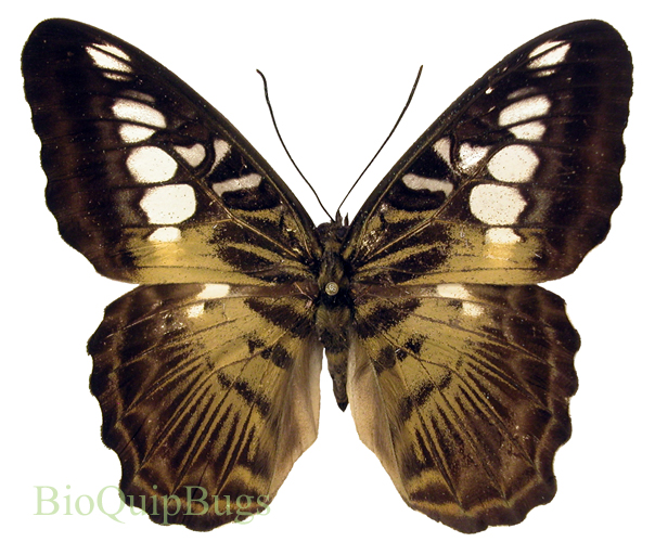 Catalog #20B1627: Parthenos sylvia philippensis (upperside) (click to close)