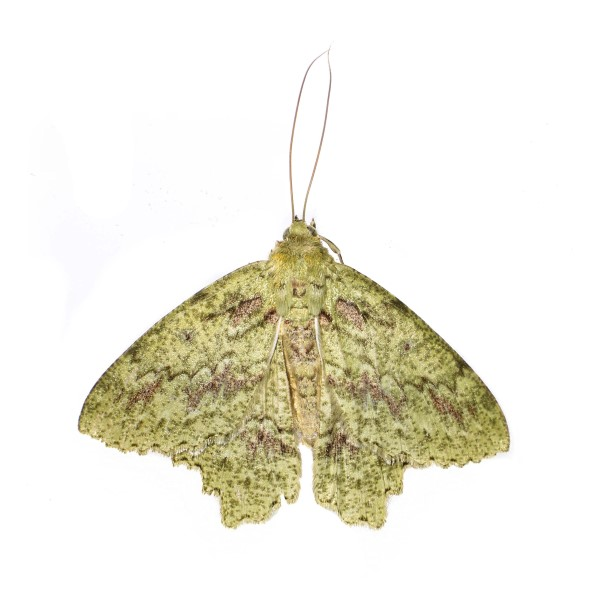 Catalog #23H0220: Herochroma urapteraria (Upperside) (click to close)