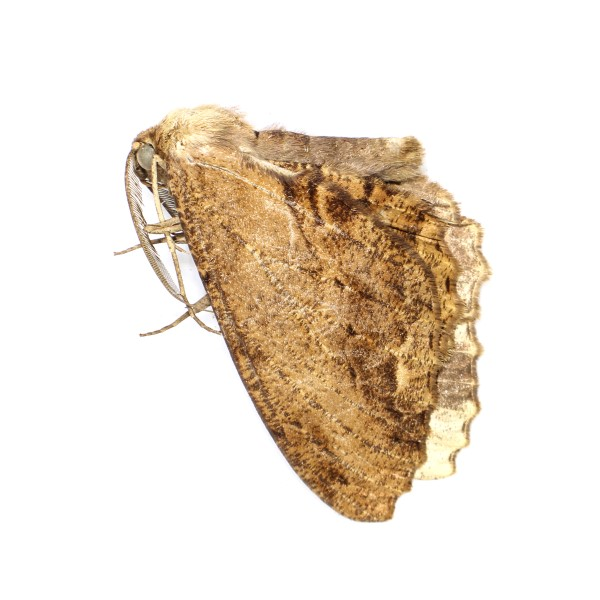 Catalog #23H0367: Chorodna pseudobolima (click to close)