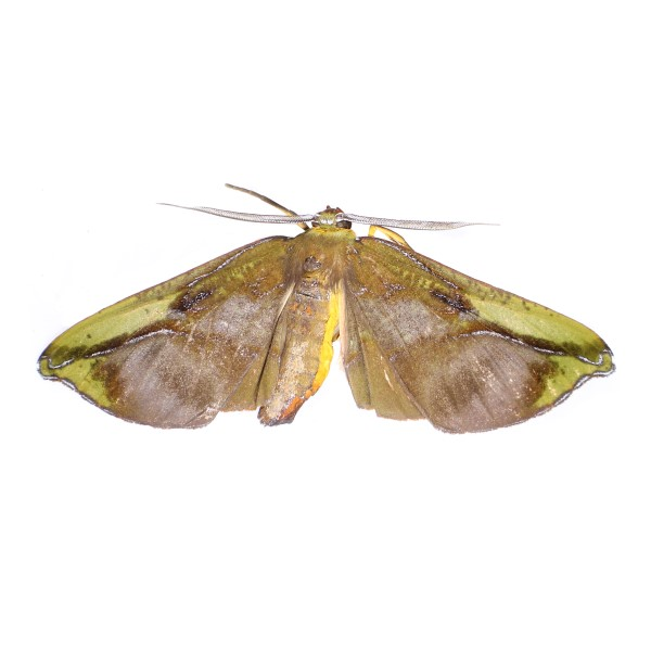 Catalog #23H0380: Omiza lycoraria (Upperside) (click to close)