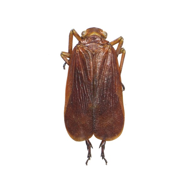 Catalog #25F0157: Fulgoridae sp (click to close)