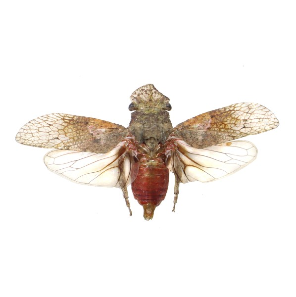 Catalog #25F0158: Fulgoridae sp (click to close)