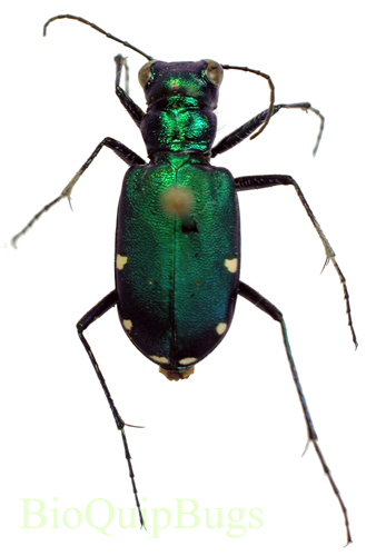 Catalog #27C0097: Cicindela sexguttata sexguttata (click to close)