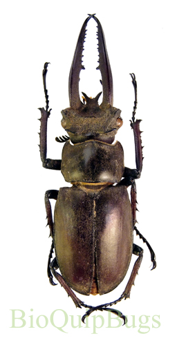 Catalog #2C0066M: Lucanus planetti (click to close)