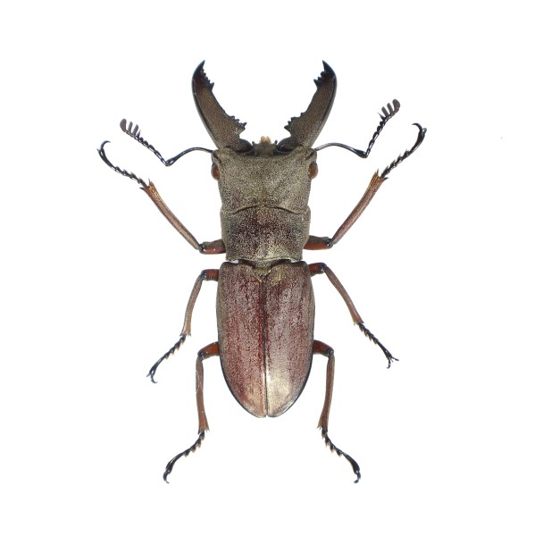 Catalog #2C0663: Prosopocoilus sp (click to close)