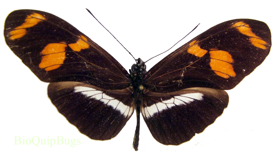 Catalog #3B0080: Heliconius telesiphe f telesiphe (upperside) (click to close)