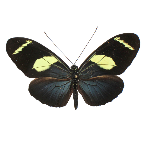 Catalog #3B0092: Heliconius doris (upperside) (click to close)