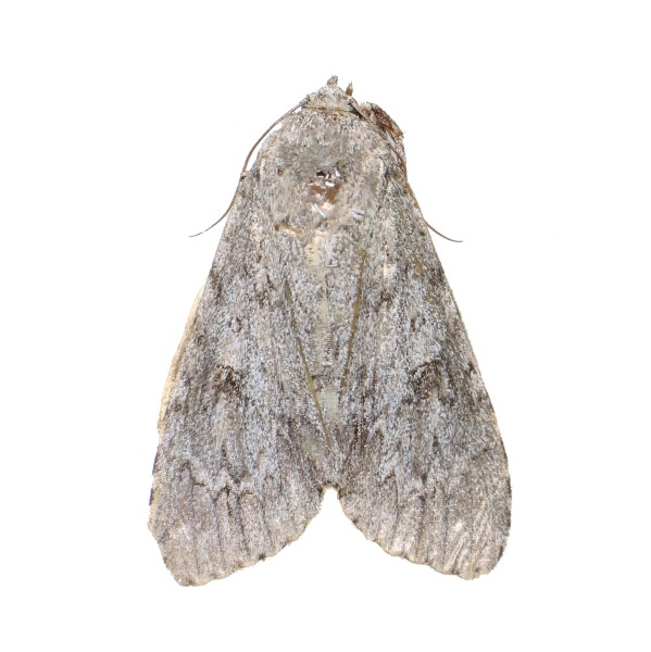 Catalog #5H0341: Acronicta americana (click to close)