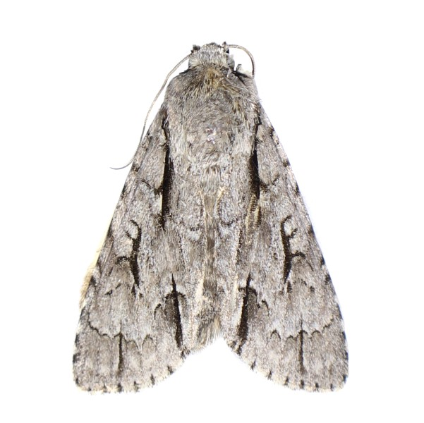 Catalog #5H0348: Acronicta lobeliae (click to close)