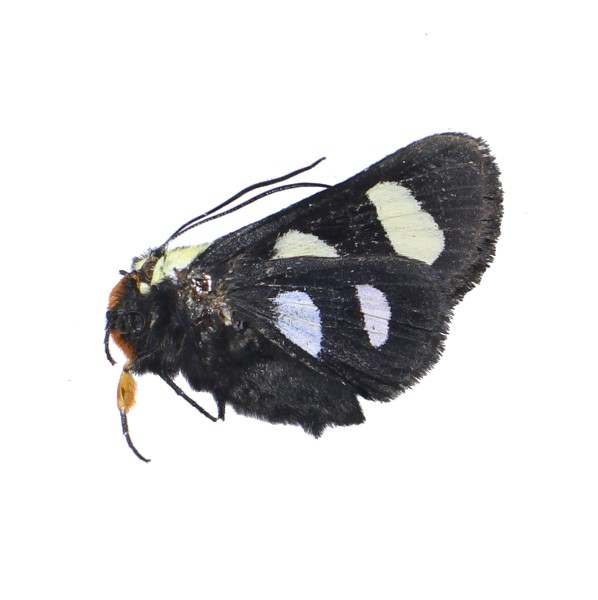 Catalog #5H0500: Alypia octomaculata (click to close)