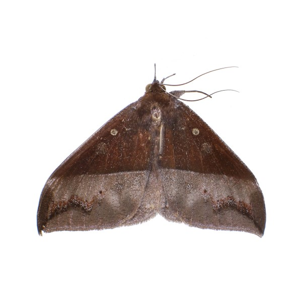 Catalog #5H0651: Ischyja subreducta (Upperside) (click to close)
