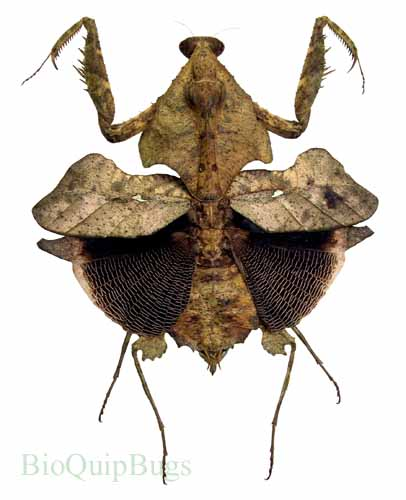 Catalog #5V0047: Deroplatys lobata (click to close)