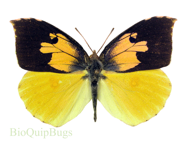 Catalog #6B0089P: Zerene eurydice (male upperside) (click to close)