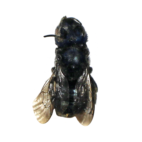 Catalog #70J0012: Osmia sp (click to close)