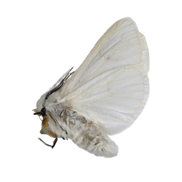 Catalog #8H0044: Spilosoma congrua (click to close)