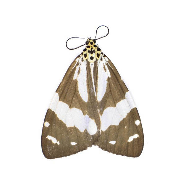 Catalog #8H0341: Utetheisa abraxoides (Upperside) (click to close)
