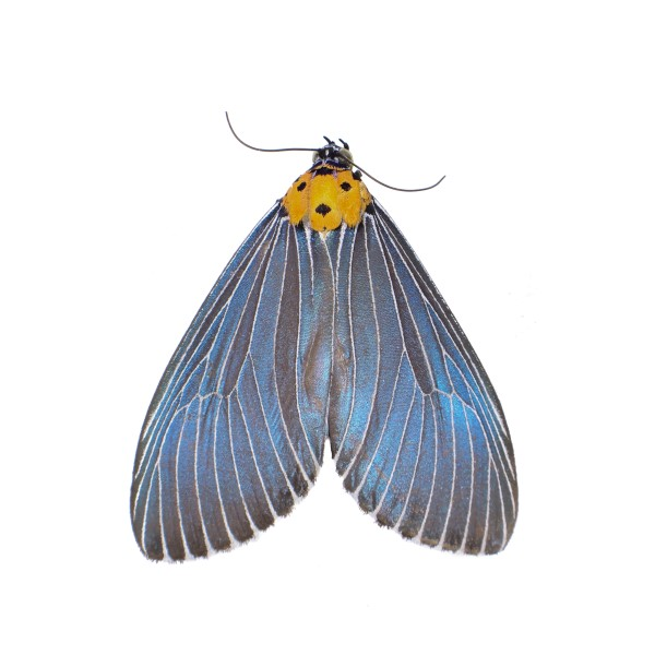 Catalog #8H0362: Neochera marmorea (Upperside) (click to close)