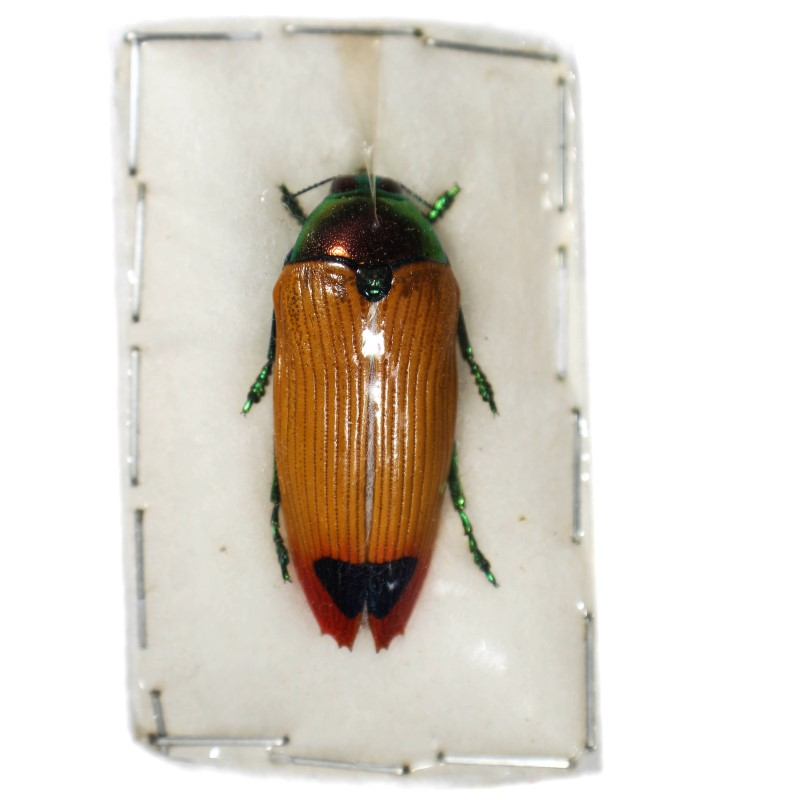 Catalog #110C1332: Metaxymorpha apicerubra (click to close)