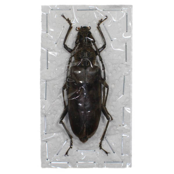 Catalog #126C5017F: Hoplocerambyx spinicornis (click to close)
